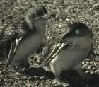 BLUE PENGUIN(Korora):Eudyptula minor