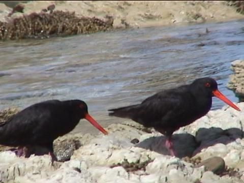 Variable Oystercatcher:Haematopus unicolour